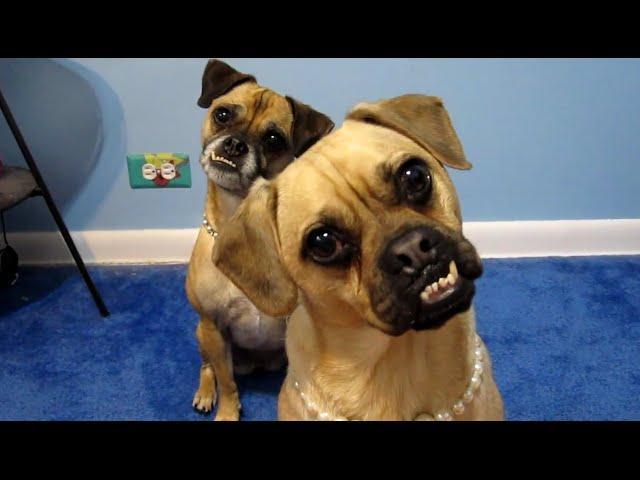 Cute Dog Head Tilt Compilation 2015 [NEW HD]